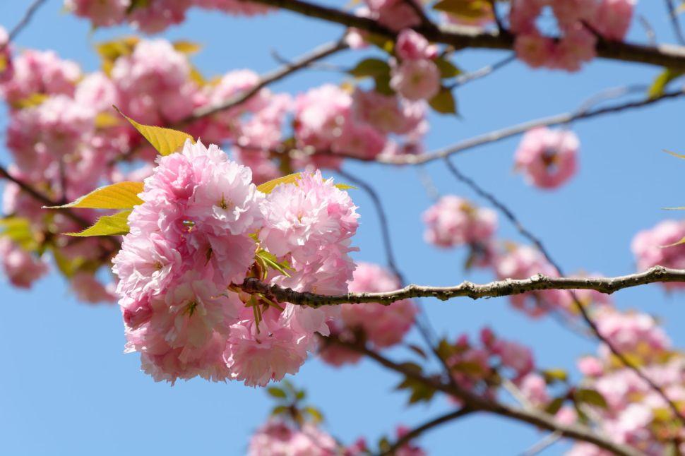 2017-04-19 13-49-31 Cherry Blossom