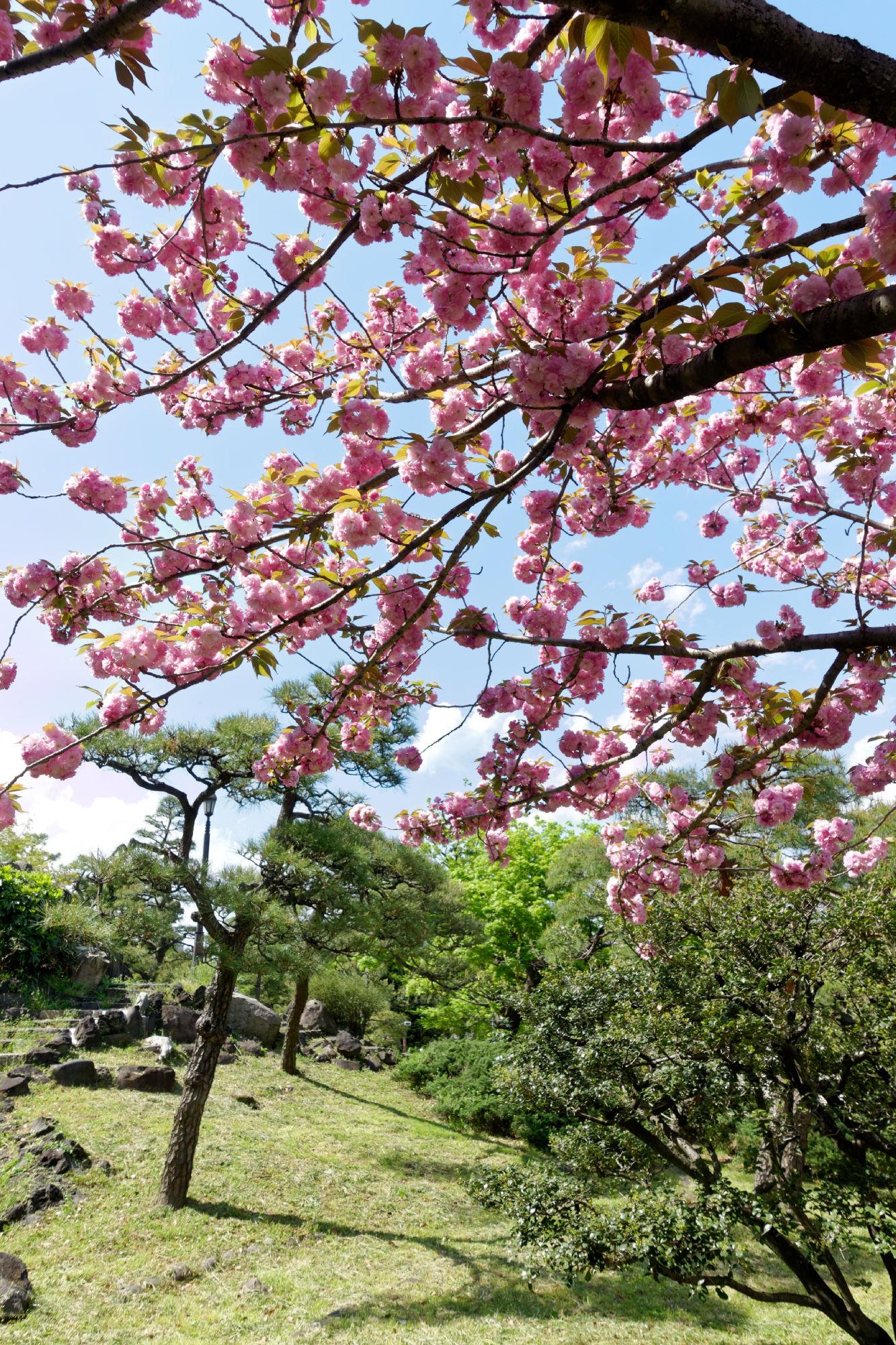 2017-04-19 13-51-33 Cherry Blossom