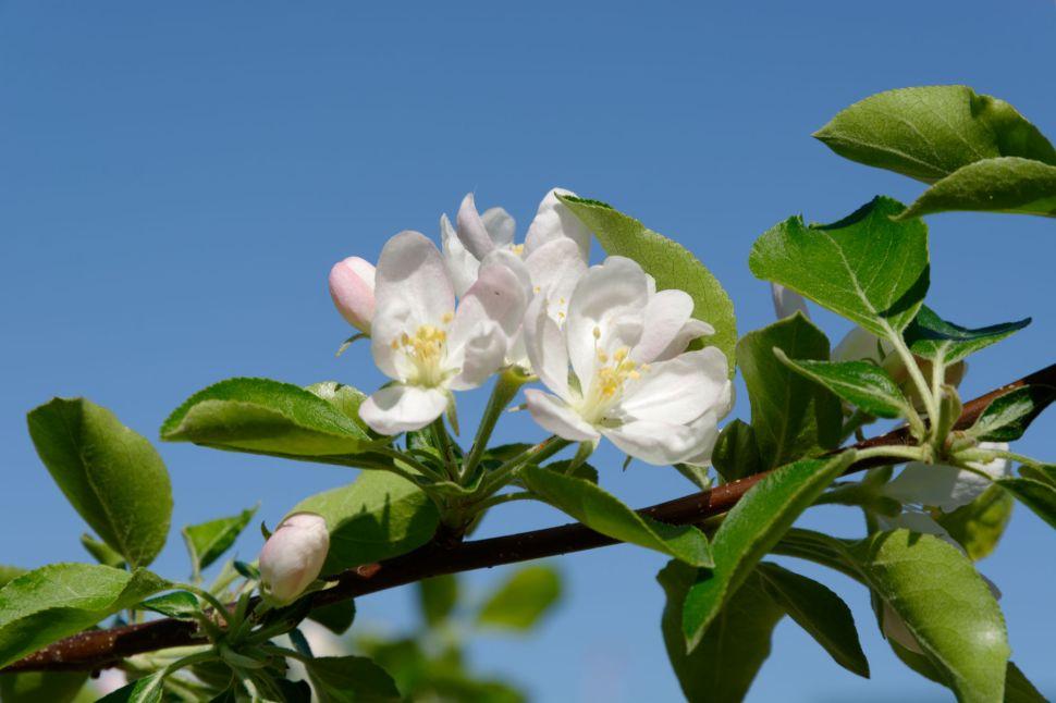 2017-04-19 15-11-29 Cherry Blossom