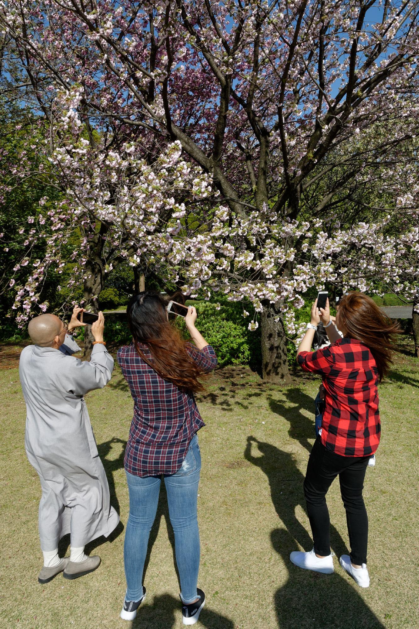 2017-04-19 15-19-49 Cherry Blossom